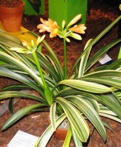 clivia variegated leaves 1