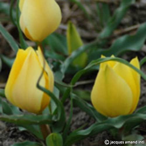 Batalinii-Yellow-Jewel