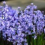 Hyacinth Multiflora Blue