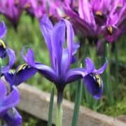 Iris Palm Spring (1)