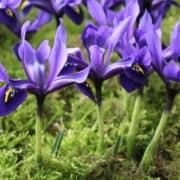 Iris Palm Spring (5)