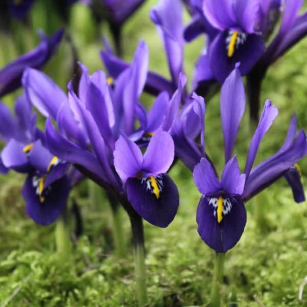 Iris Palm Spring_4854 (1)