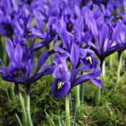 Iris Palm Spring_4888 (1)