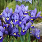 Iris Rhapsody (1)