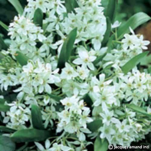 Oligophyllum