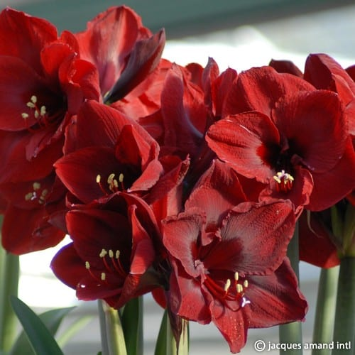 Royal velvet jacques amand intl for Amaryllis royal red