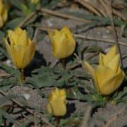 batalini Yellow Jewel