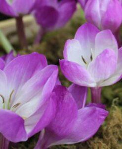 Colchicum speciosum Atrorubens