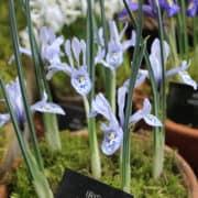 Iris histrio-aintabensis_4960 (1)