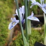 Iris histrio-aintabensis_4960 (3)