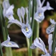 Iris histrio-aintabensis_4960 (4)