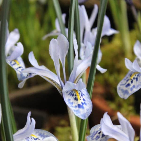 Iris histrio-aintabensis_4960 (5)