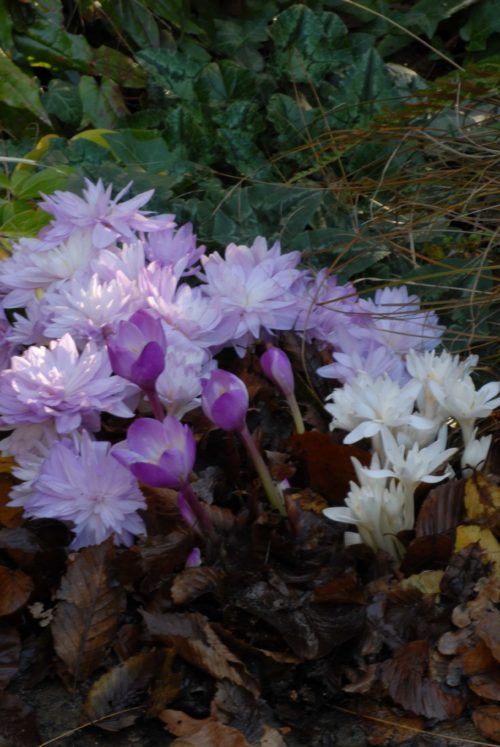 Colchicum Waterlily (AGM) autumn flowering bulb in fall