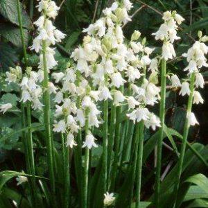 Hyacinthoides hispanica-Alba