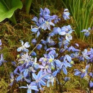 Scilla siberica Spring Beauty_2200 (1)