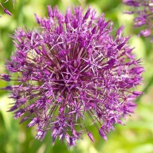allium-purple-rain