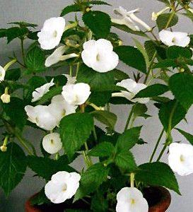 achimenes-himalayan white