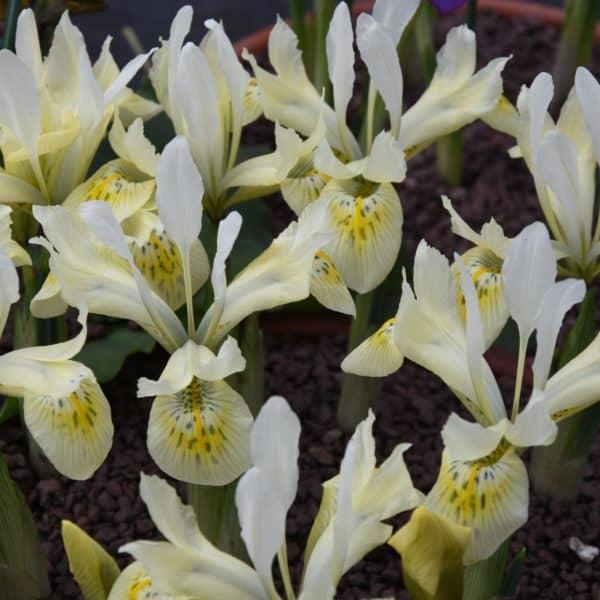 Image result for Iris reticulata Katharine Gold