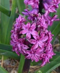 Hyacinth: Double Flowered – Jacques Amand Intl